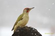 Pito real (Picus viridis), green woodpecker